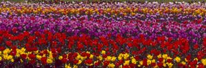 Tulips in Holland, Michigan